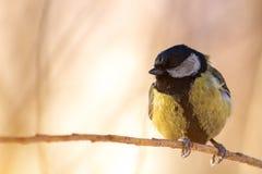 主要的帕鲁斯,伟大的山雀坐分支在冬天森林里 库存图片