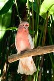 主要米歇尔美冠鹦鹉鹦鹉坐在绿色棕榈树前面的分支 免版税库存照片