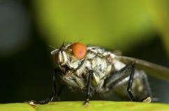 丽蝇接近  库存照片