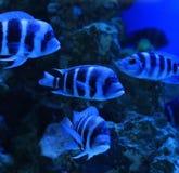 丽鱼科鱼斑马 库存图片