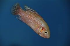 丽鱼科鱼色的女性红色 免版税库存照片