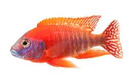 丽鱼科鱼鱼孔雀红色红宝石 图库摄影
