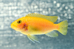 丽鱼科鱼鱼 库存图片