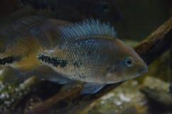丽鱼科鱼鱼 库存照片