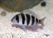 丽鱼科鱼cyphotilapia frontosa 免版税图库摄影