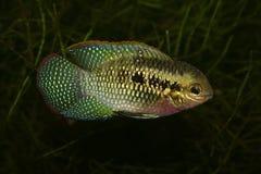 丽鱼科鱼dorsigera加点laetacara红色 图库摄影
