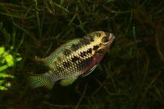 丽鱼科鱼dorsigera加点laetacara红色 免版税库存图片