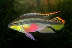 丽鱼科鱼kribensis紫色 免版税图库摄影