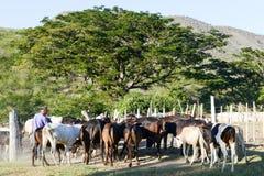 举办母牛的他的牧群农夫在圣地亚哥附近 免版税库存图片
