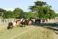 举办母牛的他的牧群农夫在圣地亚哥附近 图库摄影