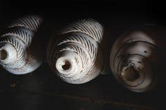 举办的西藏神秘的服务三佛教礼节古老壳在修道院,西藏,喜马拉雅山里 免版税库存照片