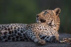 举它的在惊奇的一头休息的豹子头 库存照片