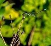 举它的尾巴的绿色蜻蜓 免版税库存照片