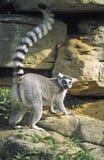 举环形尾标被盯梢的舌头的狐猴 免版税库存照片