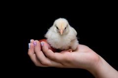 举行一只黄色婴孩鸡和复活节红色的年轻少年 库存图片