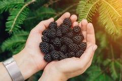 举行在新鲜的黑莓的女孩手 免版税库存照片