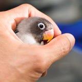 举行在被弄脏的背景的一只手上的小爱情鸟 库存照片