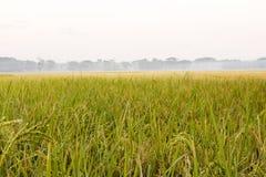 举行金黄颜色场面用绿色米在r领域 库存照片