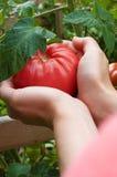 举行RipeTomatoe的手 免版税库存图片