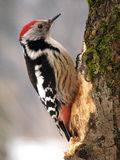 乌克兰喀尔巴阡山脉 啄木鸟在森林里 免版税库存图片
