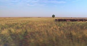 乌克兰干草原电影空中寄生虫视图与绵羊群的  股票录像