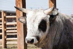 乌克兰有角的牛 免版税库存图片