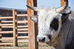 乌克兰有角的牛 库存照片