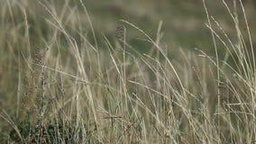 乌克兰的干草原,干草在风晃动 股票录像