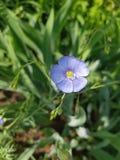 乌克兰的植物群 一朵小,小花是浅紫色与在一个稀薄的词根的一个绿色中心 在边是闭合的花蕾 库存图片