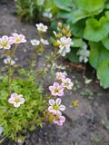 乌克兰的植物群 桃红色颜色一朵小,小花,在一个绿色词根,当浅绿色的叶子,位于植物的根 免版税库存照片