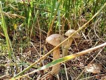 乌克兰蘑菇 库存照片