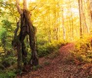 乌克兰,山毛榉森林在喀尔巴阡山脉在横过喀尔巴阡山脉在用浓雾盖的雨以后的秋天早晨  免版税库存照片