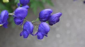 乌头 蓝色beatuful花在庭院里 影视素材