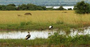 乌干达徒步旅行队动物在他们的栖所 图库摄影