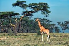 乌干达长颈鹿 免版税图库摄影
