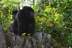 乌干达,大猩猩 免版税库存照片