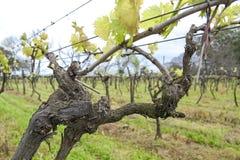 乌拉圭酒葡萄树。 库存照片