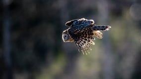 乌拉尔反对捉住牺牲者的光的猫头鹰飞行 免版税库存照片