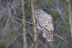 乌拉尔猫头鹰(猫头鹰类uralensis)在森林,布拉索夫,罗马尼亚里 库存图片