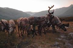 乌拉尔风景 俄罗斯风景 ural的山 驯鹿 免版税库存照片