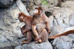 乌木叶猴 免版税库存照片