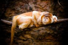 乌木叶猴 免版税图库摄影