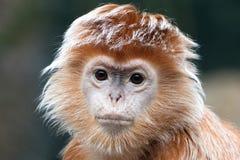 乌木叶猴 库存图片