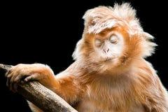 乌木叶猴II 免版税库存图片