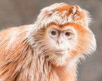 乌木叶猴III 免版税库存照片