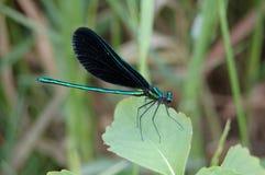 乌木Jewelwing蜻蜓 免版税库存照片