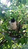 乌鸦刚孵出的雏坐绿色灌木 免版税库存照片