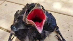 乌鸦刚孵出的雏要吃 库存照片