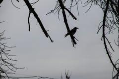 乌鸦剪影在一个不生叶的树枝栖息 库存照片