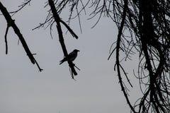 乌鸦剪影在一个不生叶的树枝栖息 免版税库存照片